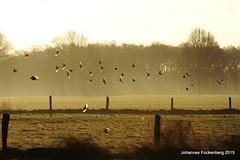 Flugschau in der Morgensonne (grafenhans) Tags: nebel minolta wiese 7d konica dynax tamron sonne sonnenaufgang vogel frhling vogelschwarm 2870200