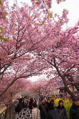 DS7_1680.jpg (d3_plus) Tags: street sea sky plant flower nature car rain japan drive spring scenery cloudy wideangle rainy  cherryblossom  sakura   shizuoka    touring  izu  kawasaki  superwideangle  kawazu          a05  kawazuzakura  1735mmf284 tamronspaf1735mmf284dildasphericalif tamronspaf1735mmf284dildaspherical d700  nikond700 tamronspaf1735mmf284dild tamronspaf1735mmf284 kawazucherryblossom tamronspaf1735mmf284dildasphericalifmodela05