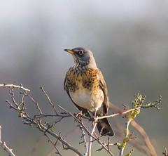 Fieldfare (jason.raspin) Tags: wildlife barton far fieldfare ings