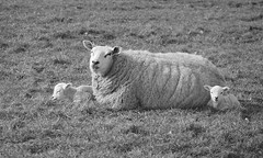 Family #44 takes a nap after making it to Explore (andzwe) Tags: sheep lambs schaap lam lammeren young dutch nederland netherlands weiland meadow family familie 44 explore 299 i500 lente spring 2015 newlyborn little klein nap dutje 279 panasonicdmcgh4 panasoniclumixdmcgh4 © ©andzwe drenthe drente lovepeacehappiness