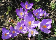 Spring Crocus, Seckington. (Seckington Images) Tags: crocus spring flowers flickr flowersflickr