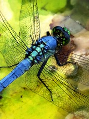 Dragonfly close up (moonjazz) Tags: blue insect wings photo dragonfly swamp science transparent thorax closeup flckr moonjazz florida lilypad macro photography nature patterns