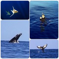 Humpback Whales and Sharks a Beautiful Day (CaptChrisParker) Tags: ocean photography hawaii underwater h2o northshore hawaiian sharks whales adventures humpback haleiwa sharkdive sharkdiving sharkboat uwphotography whalediving h2oadventureshawaii