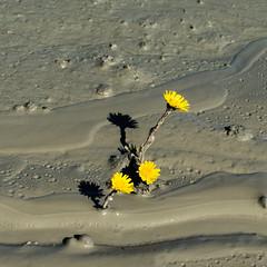 Flower in the mud (Bo Gaarde) Tags: flower yellow denmark flow grey mud danmark mnsklint coltsfoot tussilagofarfara tussilago mn flfod almindeligflfod