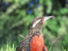 un pajaro Loica (Alejandro.Quezada) Tags: bird beautiful birds pretty aves colores pajaros emotions libre sangre llora thisislife oviparo llorasangre vuelalibre plumasnaranjas