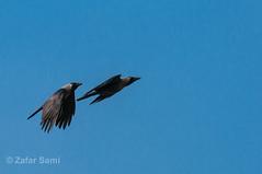 20150320-ZAS_8454 (zafarsami65) Tags: crows lahore