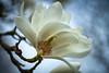 Magnolia, Kew Gardens 2 (tonybill) Tags: flowers trees kewgardens london kew gardens bokeh surrey magnolia colorefexpro detailenhancer fujinonxf60mmf24macro fujifilmxe2