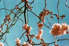 sakura2 (Turikan) Tags: rosa e sakura 100 zenit jupiter blau agfa blüte hdc 37a kirschblüten
