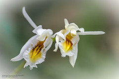 Orchids in  - flight