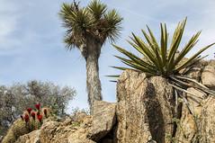 Cactus, Joshua Tree, and Yucca (schelanderpugh) Tags: travel flowers cactus nature cacti nationalpark desert hiking joshuatree greatoutdoors