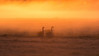 Below the ground fog. (Jaco Costerus.) Tags: sunrise waardenburg greylaggeese zonsopkomst grauweganzen grondmist hetbroek gemeenteneerijnen nikond610 sigma150600mmsports sunrisegroundfog