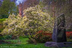 In Full Bloom (James Neeley) Tags: london magnolia hydepark jamesneeley