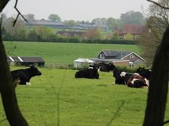 Cows Framed (Wildlife Terry) Tags: blackandwhite rural spring cattle cows dairy pastoral holstein friesian 2016 wheelockrailtrail wheelocksandbachcheshire cheshireamateurphotography