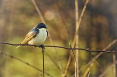 Morning Watch (flashfix) Tags: ontario canada bird texture nature field lines animal fence nikon bokeh branches ottawa grain swallow songbird 2016 hirundinidae intentionalgrain d7000 55mm300mm 2016inphotos may122016