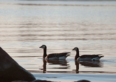 Evening Swim (samikahkonen) Tags: travel sea summer bird water swim suomi finland geese spring helsinki calm baltic goose arctic explore nordic scandinavia