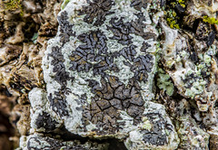 2016-05-03 17-37-29 (B,Radius30,Smoothing8)-Edit (Boy of the Forest) Tags: plants plant tree botanical bark vegetation environment lichen plantae botany lichens symbiotic symbiosis symbioticorganism