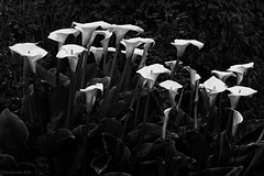 Pictures Of Lily (rich lewis) Tags: flowers blackandwhite monochrome mono lily thewho richlewis picturesoflily