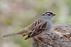 White-crowned Sparrow (Brian Lasenby) Tags: stump spring stripes color northamerica nature brown behaviour animal plant grandbend wildlife tree environment perch bird forest ontario canada season lambtonshores places