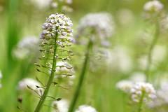 *** (pszcz9) Tags: flower nature spring bokeh sony poland polska a77 wiosna przyroda kwiat beautifulearth