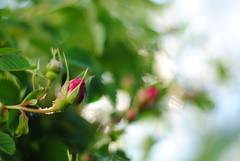 Everything's Coming Up Roses (Julija88) Tags: pink red green nature beauty rose spring nikon