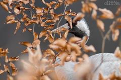 Behind the curtain (lookashG) Tags: las trees portrait tree bird nature birds animal animals fauna forest wildlife natura aves portret animalia 300mmf28 ptak ptaki commoncrane drzewa grusgrus zwierzta uraw treecrowns urawszary urawzwyczajny urawpopielaty lookashggmailcom ukaszgwidziel sonyilca77m2