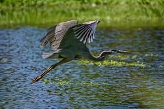 Tulsa Blue (brev99) Tags: park bird water wings pond ngc greatblueheron bif birdinflight d7100 nikviveza topazdenoise nikoutputsharpener tamron70300vc highqualityanimals
