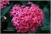 6217 - ixora (chandrasekaran a 38 lakhs views Thanks to all) Tags: flowers india nature canon chennai ixora eos400d
