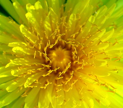 Afloat (Anna's 50) Tags: nature flower macro blossom canong1x powershotg1x g1x canonpowershot canon compact inexplore