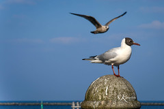 Hafenbewohner (SK snapshots) Tags: sea seagulls bird nature birds animal animals warnemnde nikon meer seagull natur d750 vgel hafen mwe ostsee mwen vogel laridae sksnapshots
