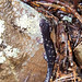 Fourche Mountain Salamander