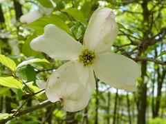 Flowering Dogwood (Dendroica cerulea) Tags: flowers plant flower tree newjersey spring nj cornus matawan cornusflorida cornaceae cheesequakestatepark middlesexcounty floweringdogwood cornales