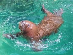 Mikku's newest pup #explored on May 20th, 2016 (EmilyOrca) Tags: light baby sunlight cute eye water pool face animal swim mammal aquarium marine ripple pup walrus
