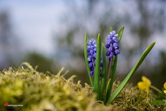 Flowers (salas-3) Tags: flowers blue macro nature photography photo moss spring nikon 40mm