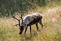 Reindeer (Eric Shwonek) Tags: nature animals reindeer outdoors wildlife deer caribou shwonek