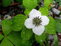 2016.05.24 - Bunchberry (JBYoder) Tags: flower screensaver dogwood dicot cornaceae bunchberry cornuscanadensis angiosperm