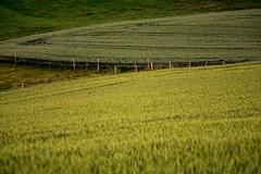 Corrientes de granos (Nico Caramella) Tags: plants verde green lines fence plantas farm cerca campos lineas curvas granos