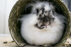 foto 159 (patrivivesm) Tags: pet pets rabbit bunny 35mm nikon conejo 365 mascota mascotas whiterabbit belier animalportrait whitebunny 365project nikonist nikonista proyecto365 retratoanimal bunnylover conejobelier belierbunny bunnyportrait retratoconejo