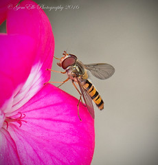 Hoverfly on Geranium (GemElle Photography - struggling to keep up) Tags: pink insect nikon wasp stamen nikkor geranium stigma hoverfly gemelle 105mm d610 gemelle1 gemellephotography