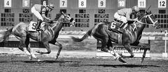 Two Race Horses (mfenne) Tags: leica horse washington images racing marlowe monochrom fenne longacres drala