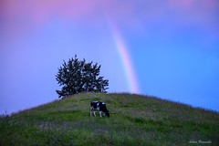Rainbow ... (acbrennecke) Tags: achimbrennecke rainbow regenbogen landscape cow blue colors nikon5500 nikon hill