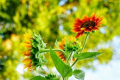 Dancing sunflowers (JPShen) Tags: sunflower dancing bright color bokeh flower