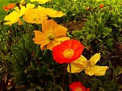 have a pleasant day (Steffi-Helene) Tags: flowers fleurs blumen nature naturellement rot gelb fiori