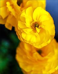 Ranunculus (Marcia Fasy) Tags: flowers plants macro yellow blossoms ranunculus blooms