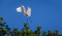 It's Thursday! (Sonarsgs) Tags: nature birds outdoors wings pond flight egrets