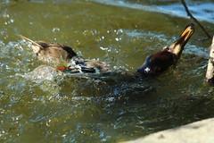 Murder at Brydon Lagoon (Sandy Paiement) Tags: mink mallard anasplatyrhynchos mallardducklings