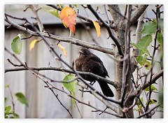 Roosting Blackbird on a Winter Evening  I (fotograf1v2) Tags: blackbird eveningroost callorypeartree ornamentalpeartree deciduoustree winter pakenham victoria australia fence treebranches