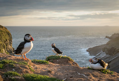 bird - puffin - skomer - 005 (EXPLORED 12/07/16) (nathanguttridge) Tags: bird nature wales wildlife puffin seabird skomer