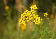 sonnengelb (mayflower31) Tags: blume rainfarn spätsommer flower yellow