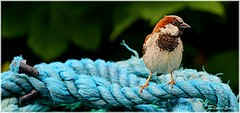 Stand Alone II (lukiassaikul) Tags: wildlifephotography wildanimals wildbirds urbanwildlife birds smallbirds housebirds gardenbirds sparrow housesaprrow