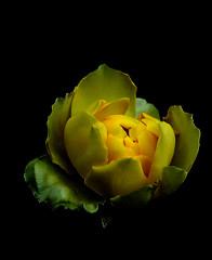 IMGP0438 Yellow Rose (tsuping.liu) Tags: outdoor nature naturesfinest natureselegantshots blackbackground bright blooming plant petal photoborder perspective passion pattern photographt flower rose brilliant